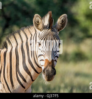 Portrait of a Burchell's Zebra in Southern African savannah - Stock Photo