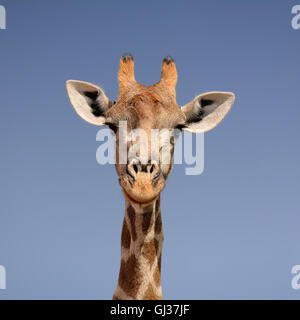 A closeup facial portrait of a giraffe against a blue sky background in Southern Africa - Stock Photo