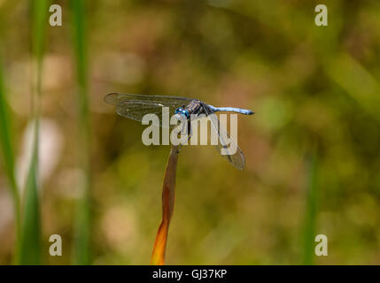 A blue dragonfly known as a Julia Skimmer, on a plant stem in Southern Africa - Stock Photo