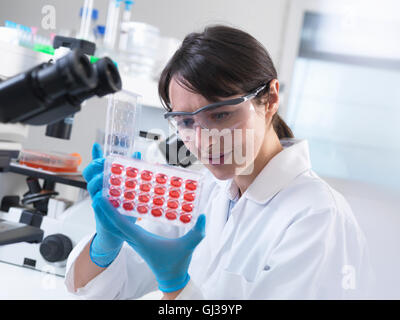 Scientist  viewing experimental cultures growing in multiwell tray in laboratory - Stock Photo