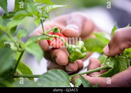 Close up of worker picking bell peppers in Hydroponic farm in Nevis, West Indies - Stock Photo