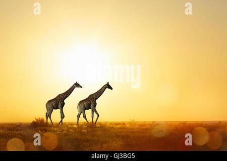 Giraffes at sunset, Etosha National Park, Namibia - Stock Photo