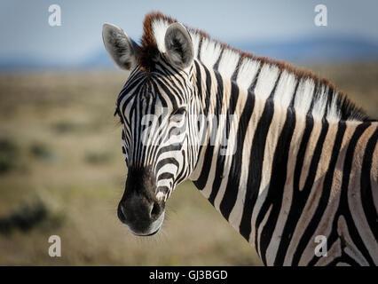 Zebra, Etosha National Park, Namibia - Stock Photo