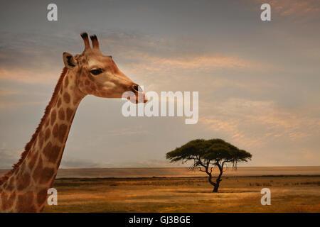 Giraffe at sunset, Etosha National Park, Namibia - Stock Photo