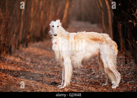 White Russian Wolfhound Dog, Borzoi, Russian Hunting, Sighthound, Russkaya Psovaya Borzaya, Psovoi. - Stock Photo