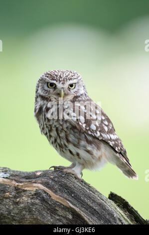 Little owl (Athene noctua) - UK - Stock Photo