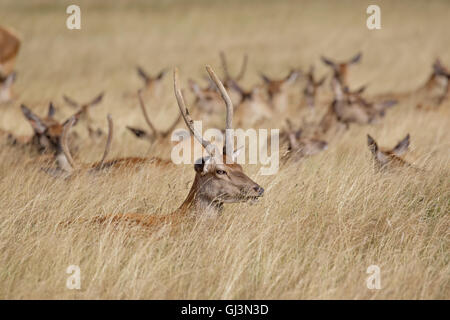 Young Red Deer stag (Cervus elaphus) with herd behind in long grass - Stock Photo