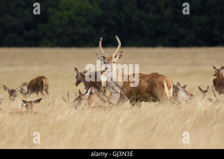 Young Red Deer stag or pricket (Cervus elaphus) with herd in long grass - Stock Photo