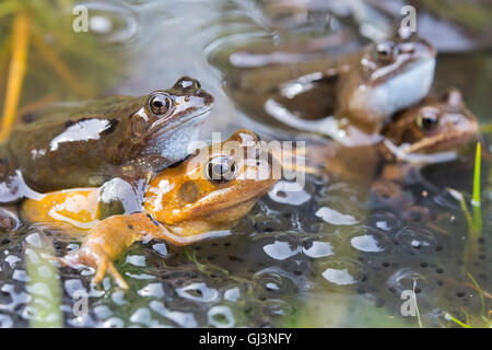 Common frogs (Rana temporaria) in spawning pond, Northumberland, UK - Stock Photo
