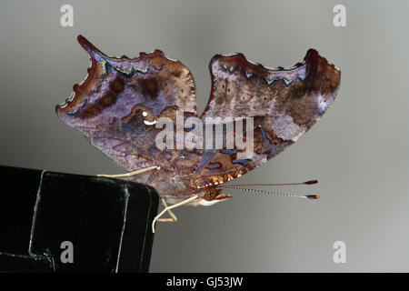 A freshly emerged/eclosed Question Mark butterfly (Polygonia interrogationis) sitting on an aquarium lid, Indiana, - Stock Photo