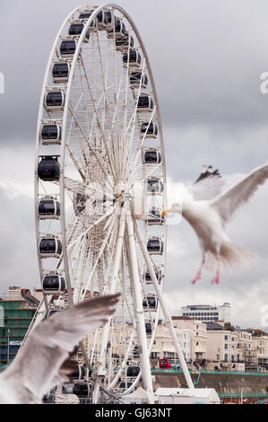 Brighton, East Essex, UK, United Kingdom, England, seagull, Herring Gull, Larus Argentatus, flying, Big, Wheel, - Stock Photo