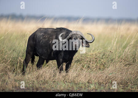 Large Cape Buffalo Syncerus caffer on the side of a river bank in Botswana facing forwards with horns prominent - Stock Photo