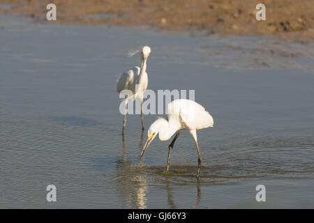 Snowy Egrets, (Egretta thula), fishing at Bosque del Apache National Wildlife Refuge, New Mexico, USA. - Stock Photo