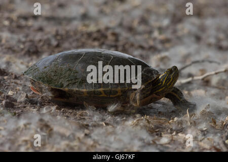 Female Western Painted Turtle, (Chrysemys picta bellii), searching for a nesting location.  Bosque del Apache NWR, - Stock Photo