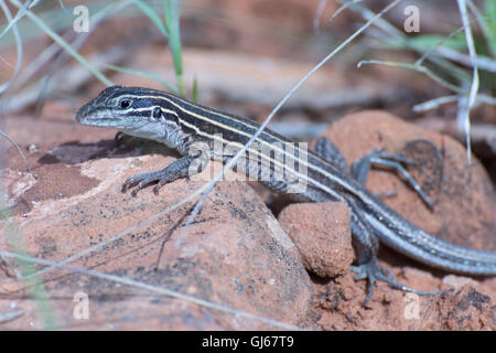 Plateau Striped Whiptail, (Aspidoscelis velox), Bell Trail near Sedona, Arizona, USA. - Stock Photo