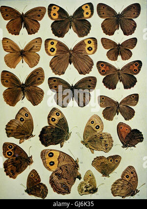 The butterfly book; a popular guide to a knowledge of the butterflies of North America (1898) - Stock Photo