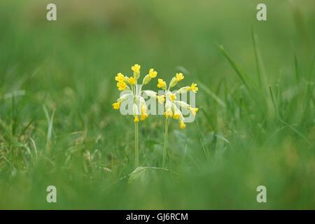 cowslip, Primula veris, Close up - Stock Photo
