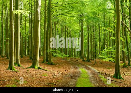 Footpath through near-natural beech forest, Stubnitz, National Park Jasmund, island Rügen, Mecklenburg-West Pomerania, - Stock Photo