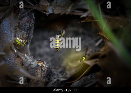 Common wasp (vespula vulgaris) carrying decaying wood in its jaws from this hole to its nesting site, Yorkshire, - Stock Photo