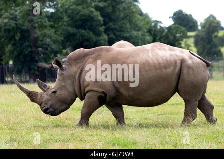 Southern White Rhino rhinoceros family Ceratotherium simum simum at Woburn Safari Park  in Woburn, Bedfordshire, - Stock Photo