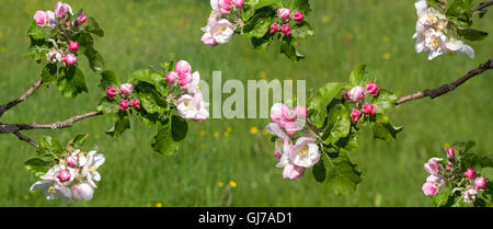 Twigs with the blossoms of a apple tree as a panorama - Stock Photo