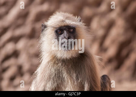Indian Gray langurs or Hanuman langurs Monkey (Semnopithecus entellus) staring at the camera - Stock Photo