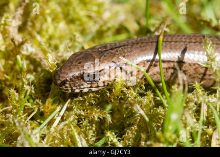 Close up of the head of a young slow worm (Anguis fragilis) - Stock Photo