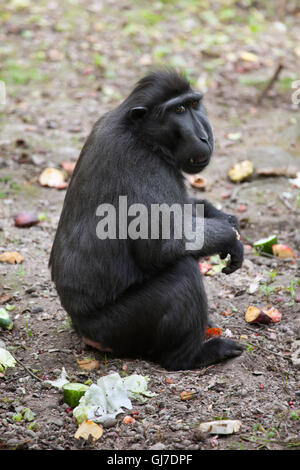 Celebes crested macaque (Macaca nigra), also known as the Sulawesi crested macaque at Decin Zoo in North Bohemia, - Stock Photo