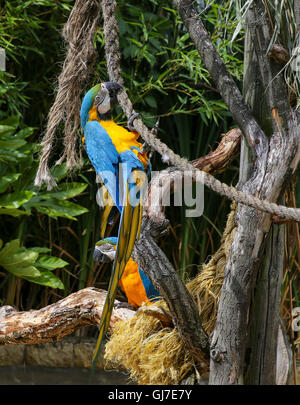 A pair of blue-and-yellow macaws - ara ararauna - blue-and-gold climbing on the rope - Stock Photo
