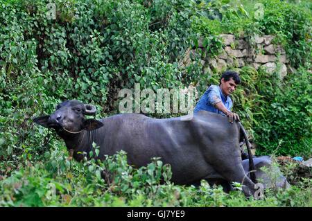 Kathmandu, Nepal. 13th Aug, 2016. Sahadev Niralaya, 43 years old washing his Buffaloes in the water Canal at Sainbu, Kathmandu. © Narayan Maharjan/Pacific Press/Alamy Live News