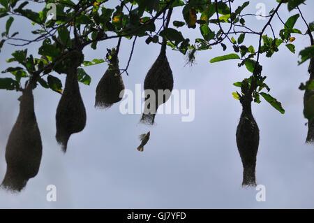 Kathmandu, Nepal. 13th Aug, 2016. A Baya Weaver (Ploceus philippinus) male flying towards nest at Kirtipur, Kathmandu. © Narayan Maharjan/Pacific Press/Alamy Live News