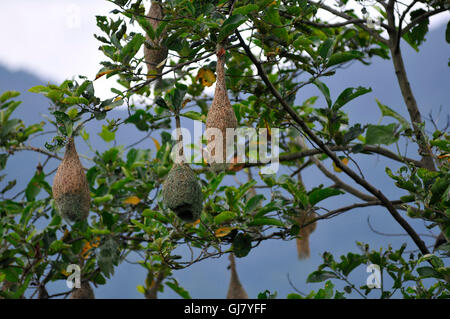Kathmandu, Nepal. 13th Aug, 2016. A Baya Weaver (Ploceus philippinus) male weaving nest at Kirtipur, Kathmandu. © Narayan Maharjan/Pacific Press/Alamy Live News