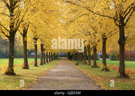 largeleaf linden, avenue in autumn, Tilia platyphyllos - Stock Photo