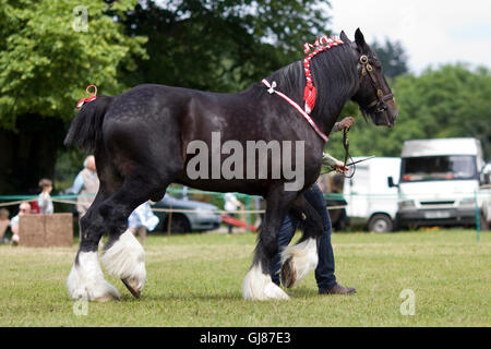 Shire Horse in Hand at a show in England - Stock Photo