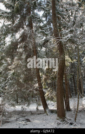 Coniferous stand of spruces snow wrapped in morning,Bialowieza Forest,Poland,Europe - Stock Photo