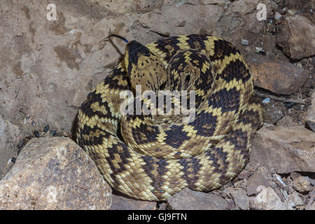 Western Black-tailed Rattlesnake, (Crotalus molossus), Ruby Road, Arizona, USA. - Stock Photo