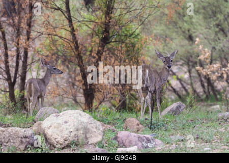 Coues White-tailed Deer, (Odocoileus virginianus couesi), doe (with a cataract) and fawn.  Ruby Road, Arizona, USA. - Stock Photo