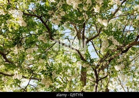 Robinia pseudoacacia (Black Locust, False Acacia) tree in blossom - Stock Photo
