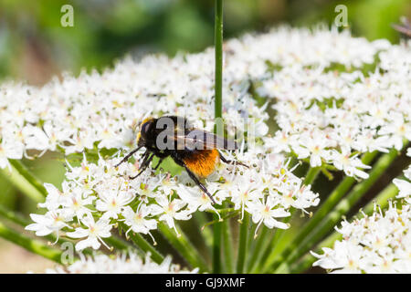 Red Tailed Bumble Bee. (Bombus lapidarius) sat on cow parsley fower - Stock Photo