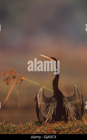 Oriental Darter, Anhinga melanogaster, with wings spread out for drying, Keoladeo Ghana National Park, Bharatpur, - Stock Photo