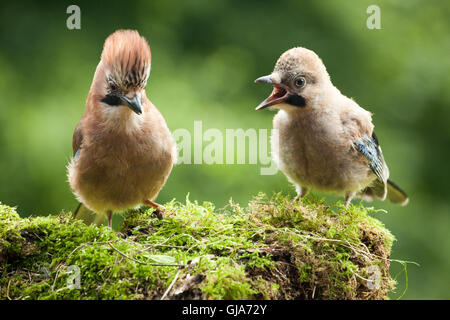 Jay bird feeding her young perched on a moss covered log close up - Stock Photo