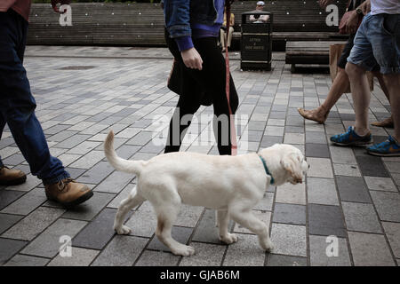 Golden Labrador puppy on leash being walked in pedestrianized street amongst lots of legs. - Stock Photo