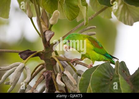 Orange-chinned Parakeet, Brotogeris jugularis, feeding on a Cecropia tree in Soberania national park, Republic of - Stock Photo