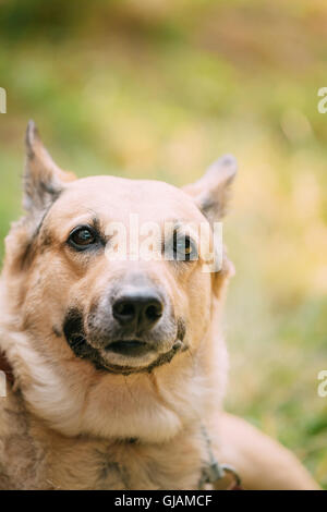 Close Up Of Medium Size Mongrel Mixed Breed Short-Haired Yellow Adult Female Dog On Green Grass Background - Stock Photo