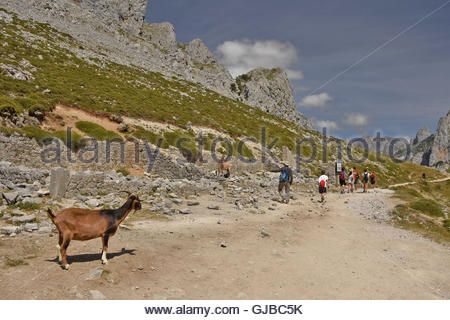 Mountain goats along the Cares Gorge route between towns of Poncebos and Cain in Picos De Europa National Park Northern - Stock Photo