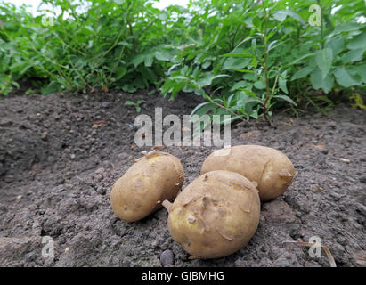 Where potatoes come from, tubers in a hand, in field of potato crop,Cheshire,North West England, UK - Stock Photo