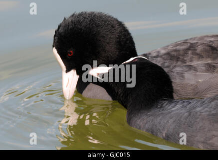 A pair of coots (Fulica atra) getting friendly. Bedgebury Forest, Kent, UK. - Stock Photo