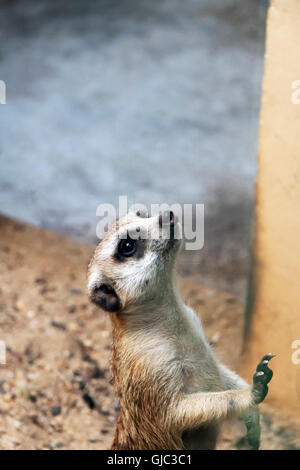 A single Meerkat looking on at the crowd - Stock Photo
