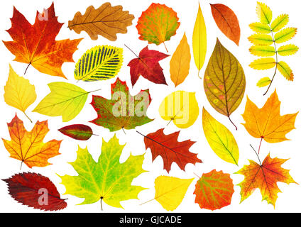 Collection of isolated autumn leaves. Colorful leaves of various trees isolated on white background - Stock Photo