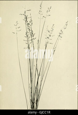 The book of grasses - an illustrated guide to the common grasses, and the most common of the rushes and sedges (1912) - Stock Photo